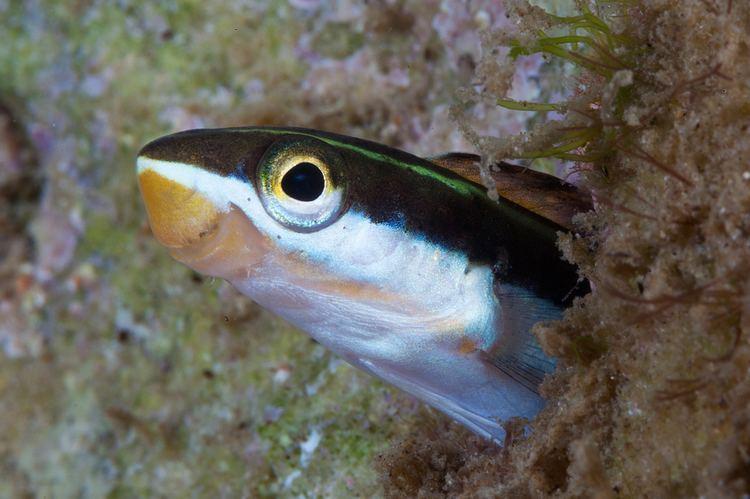 Plagiotremus Plagiotremus tapeinosoma