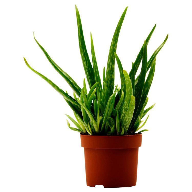 Plant wwwikeacomPIAimages0173210PE327299S5JPG