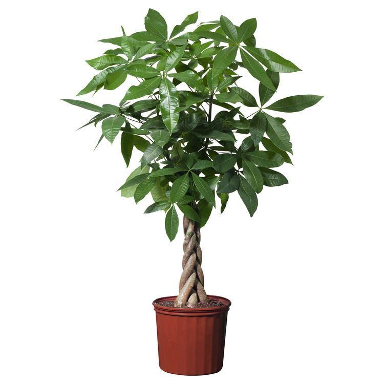 Plant Plants IKEA