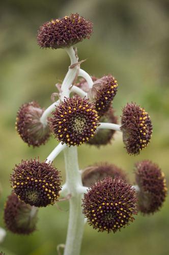 Pleurophyllum plantphylogenylandcareresearchconzimagestreei