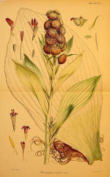 Pleurophyllum criniferum httpsuploadwikimediaorgwikipediacommonsthu