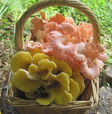 Pleurotus citrinopileatus Oyster quotGoldenquot Pleurotus citrinopileatus Mushroom Mountain