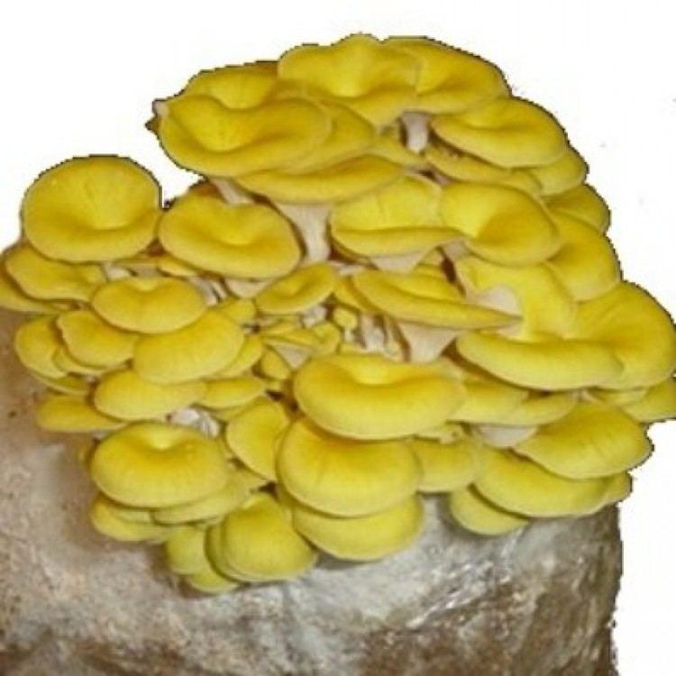 Pleurotus citrinopileatus OYSTER GOLDEN PLEUROTUS CITRINOPILEATUS