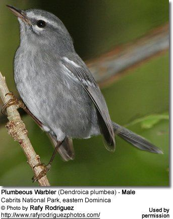 Plumbeous warbler httpswwwbeautyofbirdscomimagesbirdsPlumbeo
