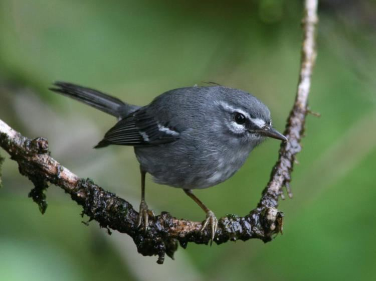 Plumbeous warbler Plumbeous Warbler Dendroica plumbea videos photos and sound