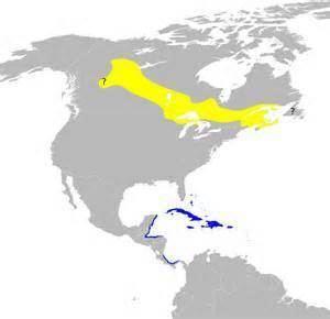 Plumbeous warbler More on Dendroica plumbea Plumbeous Warbler