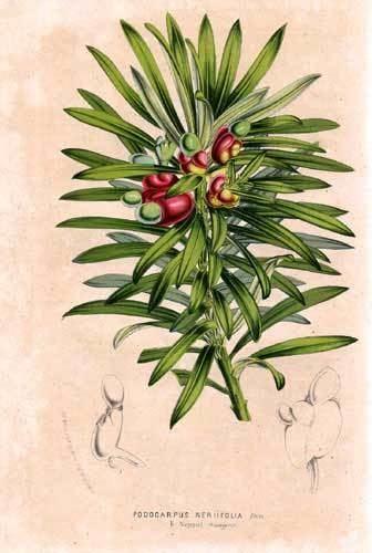 Podocarpaceae Podocarpaceae