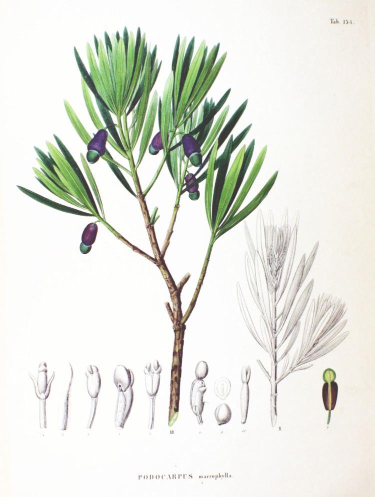 Podocarpaceae Podocarpaceae Wikiwand