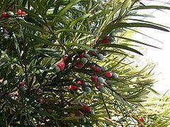 Podocarpaceae httpsuploadwikimediaorgwikipediacommonsthu