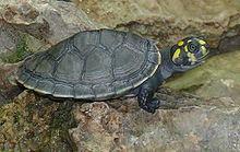 Podocnemididae httpsuploadwikimediaorgwikipediacommonsthu