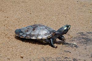 Podocnemididae Podocnemididae Wikipedia