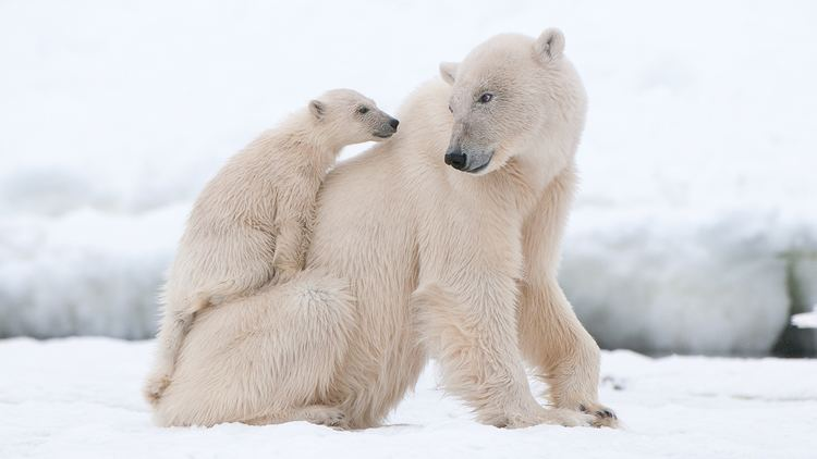 Polar bear Polar Bear Profile With Pictures Facts and Map