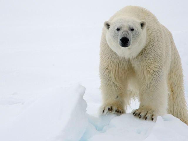Polar bear Polar Bear Species WWF
