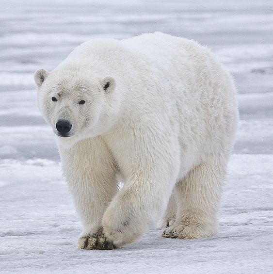 Polar bear httpsuploadwikimediaorgwikipediacommons66