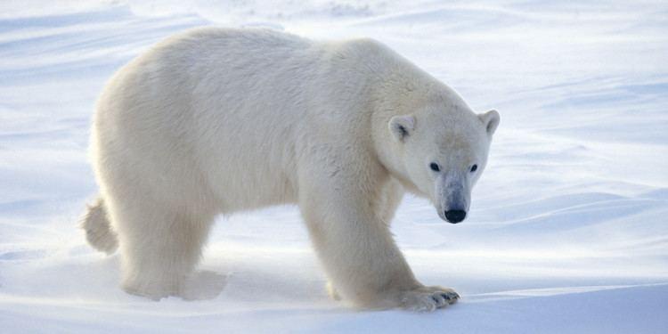 Polar bear polar bear More Photos