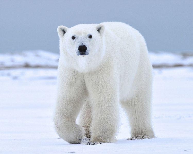 Polar bear Polar Bear Photo Safari Nanuk Polar Bear Lodge Churchill Wild