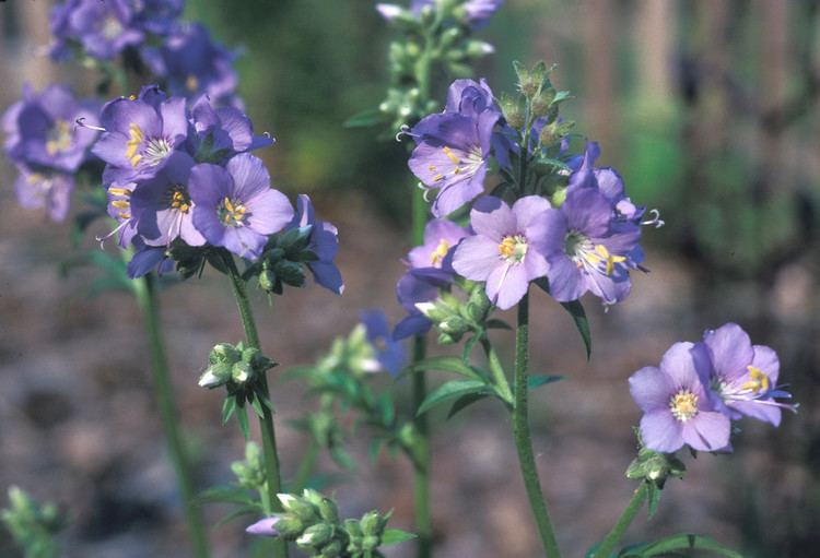 Polemonium caeruleum Polemonium caeruleum blue Jacob39sladder Go Botany
