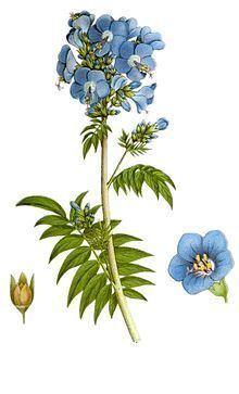 Polemonium caeruleum httpsuploadwikimediaorgwikipediacommonsthu