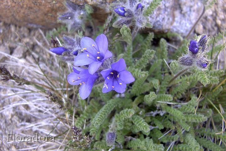Polemonium viscosum Okanogan Washington BotanyPlantsimagesPolemoniaceaePolemonium