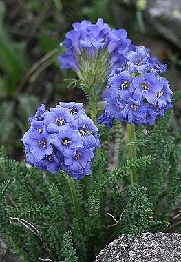 Polemonium viscosum Polemonium viscosum Colorado Wildflowers