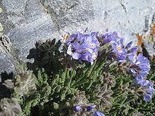 Polemonium viscosum httpsuploadwikimediaorgwikipediacommonsthu
