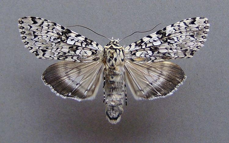 Polia goliath