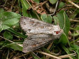 Polia (moth) httpsuploadwikimediaorgwikipediacommonsthu