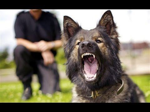 Police dog When Police Dogs Bite YouTube