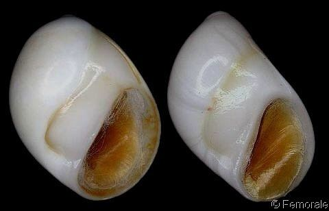 Polinices mammilla wwwgastropodscomShellImagesPRPolinicesmamm