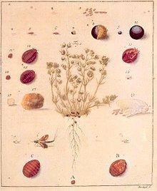 Polish cochineal httpsuploadwikimediaorgwikipediacommonsthu