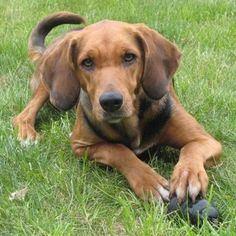 Polish Hound www101dogbreedscomwpcontentuploads201607Po