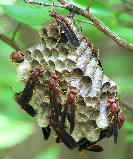 Polistes annularis Polistes Annularis Nest Polistes annularis BugGuideNet