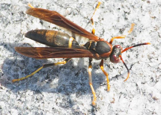 Polistes annularis High Point Paper Wasp Polistes annularis Polistes annularis