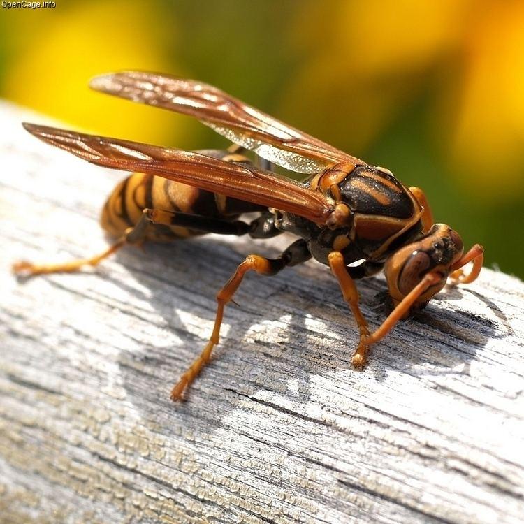 Polistes Polistes jokahamae Darkwaist paper wasp Polistes jadwigae