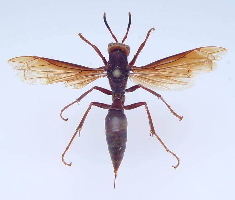 Polistes canadensis Hymenoptera Vespidae