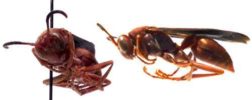 Polistes carolina Polistes carolina paper wasp red wasp