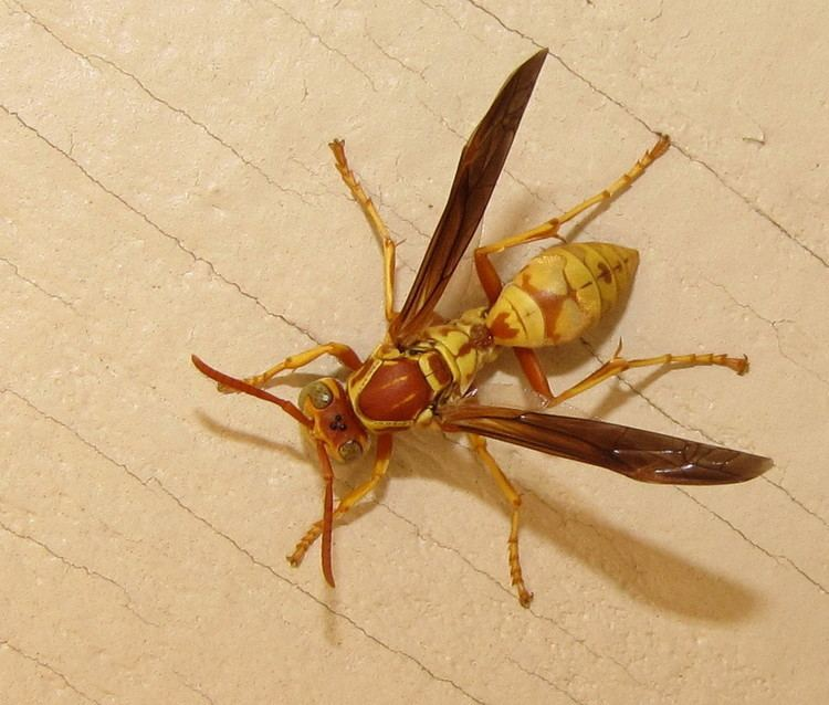 Polistes fuscatus Bug Eric Wasp Wednesday Northern Paper Wasp