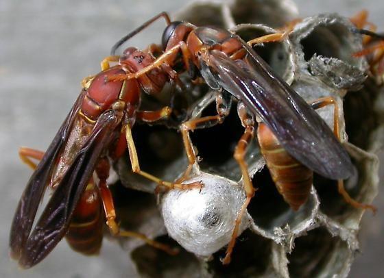 Polistes fuscatus Paper wasps Polistes fuscatus BugGuideNet