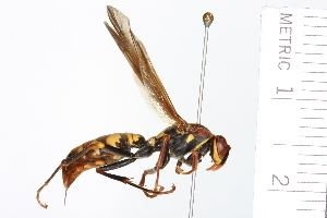 Polistes versicolor BOLD Systems Taxonomy Browser Polistes versicolor species