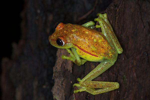 Polka-dot tree frog wwwwildherpscomimagesherpsstandard130120083P