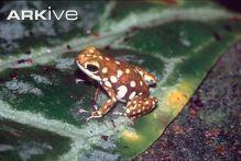 Polkadot poison frog cdn2arkiveorgmedia8888E5807816F84C149C5E7