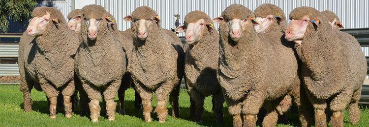 Poll Merino Roemahkita Poll Merino Stud Whatever good sheep we grow will