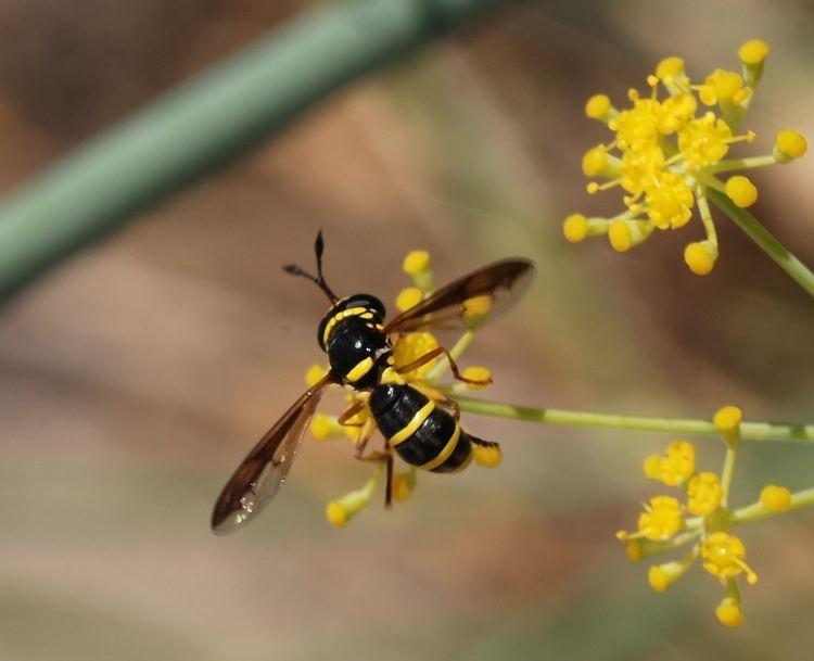 Pollen wasp FilePollen wasp August1jpg Wikimedia Commons