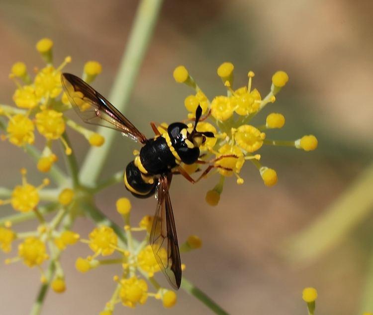 Pollen wasp FilePollen wasp August2jpg Wikimedia Commons