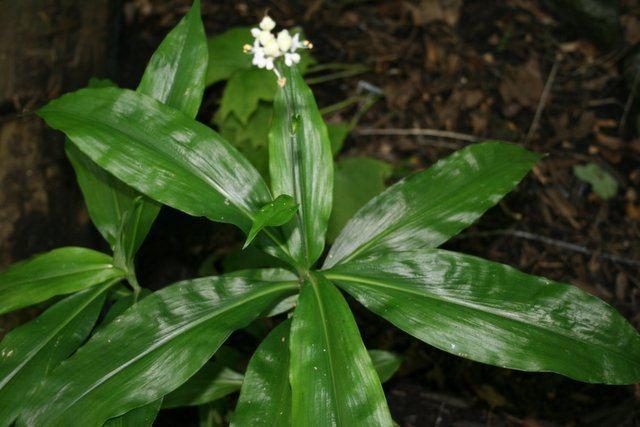 Pollia japonica An Iowa Garden A Safe Obsession Pollia Japonica