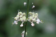 Pollia (plant) httpsuploadwikimediaorgwikipediacommonsthu