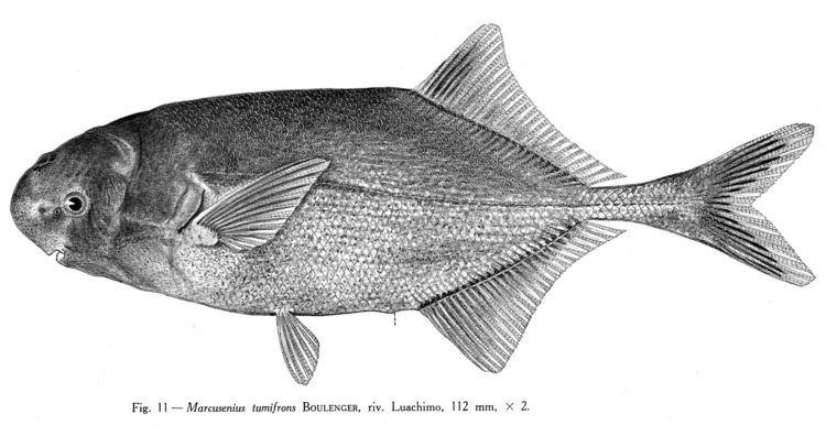 Pollimyrus Mormyridae Mormyridae African weakly electric fishes