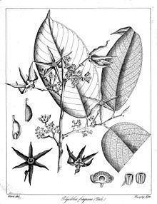 Polyalthia fragrans httpsuploadwikimediaorgwikipediacommonsthu