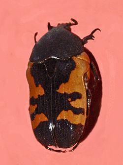 Polybaphes sanguinolenta httpsuploadwikimediaorgwikipediacommonsthu