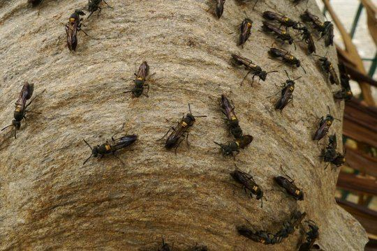 Polybia paulista Brazilian wasp venom kills cancer cells leaving normal intact